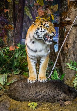 SibMong Tiger